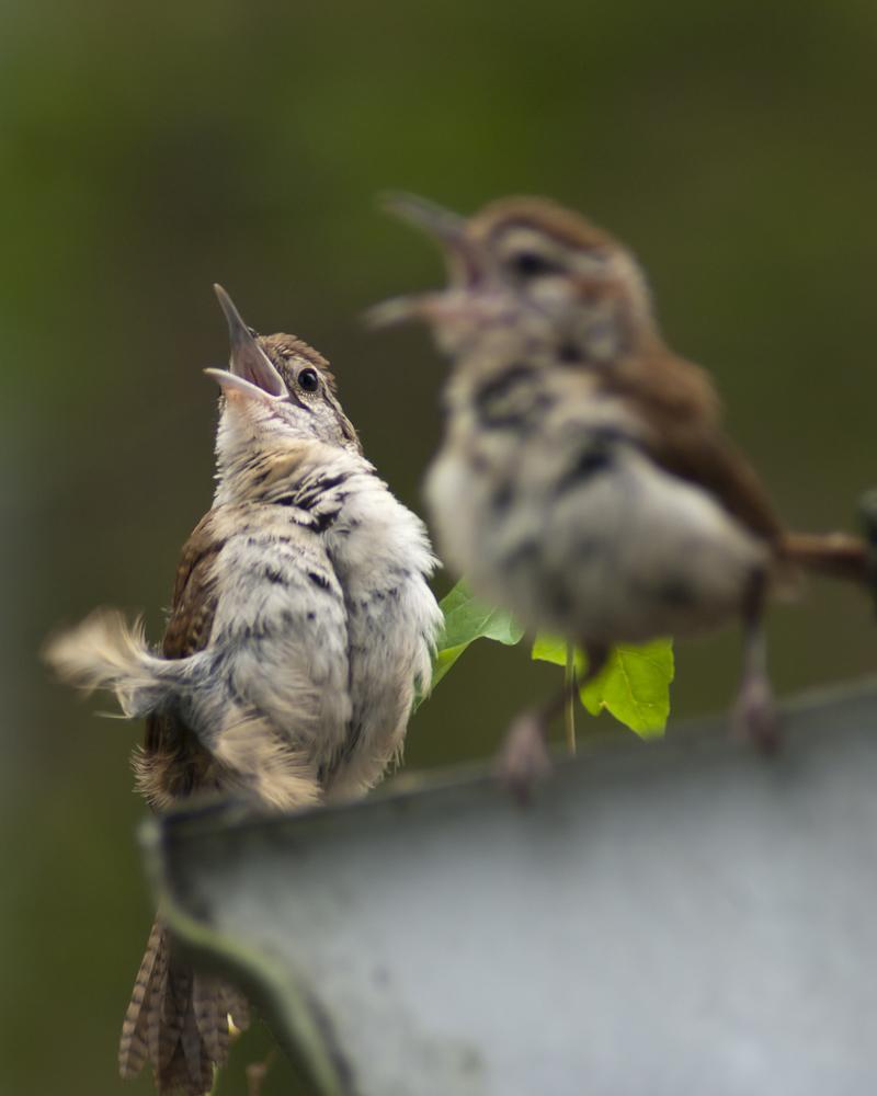 fledglings, sparrows, birds, brown birds, begging, hungry, songbirds