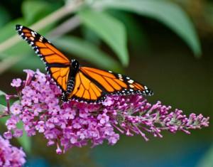 Butterfly, Monarch, butterfly bush