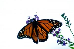 Butterfly, Butterfly Bush, Monarch